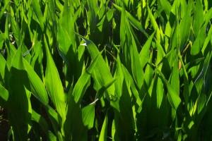 grass blades nature grow