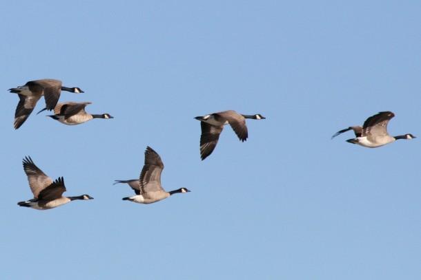 canada geese sky
