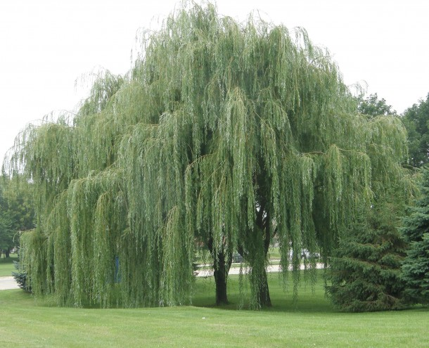 Under The Weeping Willow Tree Trees And Treehouses And A Few