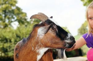 petting goat