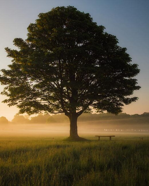 Full tree with leaves in field with fog as sun rises.